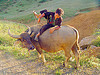 flower hmong boy dismounting his water buffalo - vietnam