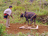 bull plowing field - dad carrying baby - between Tám Sơn and Yên minh - vietnam, agriculture, baby, child, dad, earth, farming, father, field, hill tribes, indigenous, kid, plow, plowing, working animal