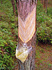 tapping tree sap - pine tree, forest, pine sap, pine trees, resin, tapping, tree bark, tree sap, tree trunk, trunks