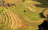 terrace farming - between Tám Sơn and Yên minh - vietnam