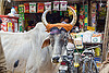ox in the street, cow, delhi, horns, nehru bazar, orange cloth, ox, paharganj, rope, shop, street